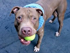 GONE 03/23/15 Manhattan Center -P  My name is CALI. My Animal ID # is A1029973. I am a male brown and white am pit bull ter mix. The shelter thinks I am about 5 YEARS old.   For more information on adopting from the NYC AC&C, or to  find a rescue to assist, please read the following: http://urgentpetsondeathrow.org/must-read/