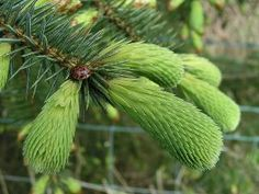 It is said that Spruce Tips impart various flavors associated with the needle buds that are found on spruce trees. Spruce tips impart a great combination of citrus, pine, resinous, floral, and even cola-like flavor. Kombucha, Spruce Tips, White Branches, Arbour Day, Dieta Detox, Christmas Tree Pattern, Rustic Wedding Favors, Beading Techniques, Home Brewing Beer