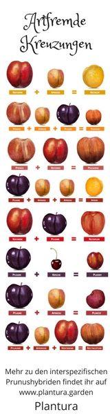 Artfremde Kreuzungen der Prunus-Art können wunderbare neue Sorten ergeben. Hier eine Übersicht über einige interspezifische Hybride - Obst Sortenvielfalt!