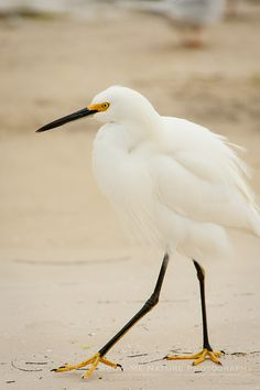 A Little Snow on the Beach - Snowy Egret (Egretta thula) on the beach at St. Petersburg, FL | Show Me Nature Photography