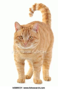 another pic of a cat that looks like Toby!!  I always had a red tabby tom growing up--they are the best cats ever!!!!