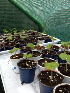 Using Keurig cups to start seedlings. AWESOME idea!  Thankfully someone came up with an idea for all of the world's new influx of keureg :)