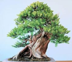 RK:イチイの古木