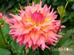 "Just Peachy | 4ft. ht, 4-6"" bloom SC (em)"