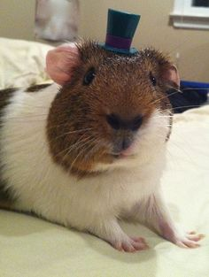 Guinea Pig with a top hat......what??? Lol