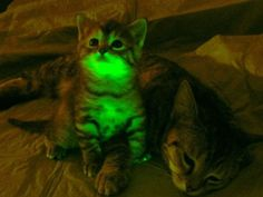 Kittens that glow green thanks to DNA tweakings. I like cats that can't get FIV, and I see the sense of making it easy to identify which cats are immune. Still wary about adding things to DNA. But even the kittens claws are glowing green!
