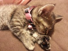 cat with opposable thumbs polydactyl Thumbelina