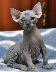 There are so many breeds of cats out there, but few are more eye-catching than hairless felines. Cats like the popular Sphynx claim devoted owners who love their unique looks. Cute Hairless Cat, Hairless Animals, Cute Baby Animals, Animals And Pets, Spinx Cat, Rex Cat, Domestic Cat, Cute Creatures, Beautiful Cats