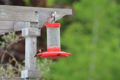 Very thirsty Male Hummingbird  Tammy Taylor-Kosiba's Photography 2012