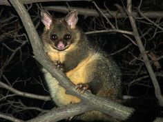 Common Brushtail Possum : The Common Brushtail Possum is a large possum with bushy tail and pointed ears. Hamsters, Rodents, Australian Possum, All Animals Are Equal, Bizarre Animals, Bird People, Australia Animals, Wild Forest, Mammals