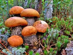 There are fewer pleasures in life that going to your garden and finding a fresh laid egg on your. Growing Mushrooms, Wild Mushrooms, Stuffed Mushrooms, Bolet, Mushroom Pictures, Mushroom Fungi, Green Lawn, Outdoor Plants, Horticulture