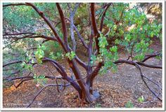 Bigberry manzanita (Arctostaphylos glauca) with particular dark coloration--Davis, CA