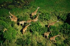 Inside the Fight to Stop Giraffes' 'Silent Extinction'. Numbers of the famous African animal have fallen by nearly half in the past 15 years, prompting urgent—and sometimes risky—actions to help.