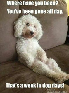 Poodle The Adorable Dog - The Pooch Online I Love Dogs, Puppy Love, Cute Dogs, Funny Dogs, Funny Animals, Cute Animals, Animal Pictures, Funny Pictures, Dog Memes