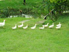Família de patos em fila indiana