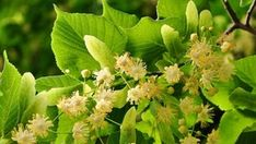 A Family Herb: Gentle Linden Flower and Leaf – Herbal Academy Linden Leaf, Sore Throat And Cough, Insomnia Remedies, Diuretic, Weight Loss Tea, Dry Leaf, Natural Medicine, Kraut, Small Flowers