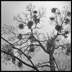 Mistletoe Tree; I remember regular childhood reminders to never eat those clusters of flowers--they are poisonous!