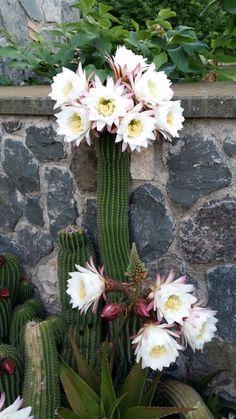 Cactus in fiore foto di giuseppina ceraso http://crocettando.wordpress.com