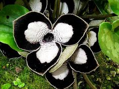 Panda Face Ginger (Asarum maximum)