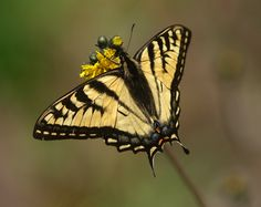 https://flic.kr/p/8aJzh1 | Tiger Swallowtail on Yellow Hawkweed | Tiger Swallowtails are plentiful in Pittsburg,NH right now. Their prefered flower appears to be a yellow hawkweed.