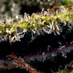 Trichome Tuesday: The DOPEST Mary Janes of Instagram  http://www.dopemagazine.com/trichome-tuesday-the-dopest-mary-jane-of-instagram/