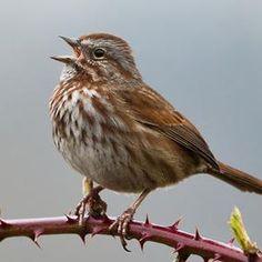 American song sparrow