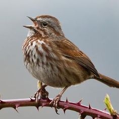 The Song Sparrow (Melospiza melodia) is a medium-sized American sparrow. Among the native sparrows in North America, it is easily one of the most abundant, variable and adaptable species.