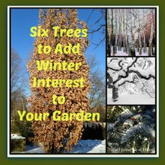 New House: Six Trees for Winter Interest
