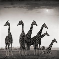 Giraffe Fan, Aberdares   From a unique collection of black and white photography at https://www.1stdibs.com/art/photography/black-white-photography/