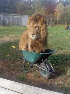 Last week, Obi was found in an unusual spot: a wheelbarrow. This Lion Got Into A Wheelbarrow At A Zoo And It Was Pretty Whimsical Funny Animal Memes, Cute Funny Animals, Funny Animal Pictures, Cat Memes, Funny Cute, Cute Cats, Funny Memes, Funny Lion, Random Pictures