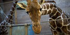 Marius the sweet innocent giraffe