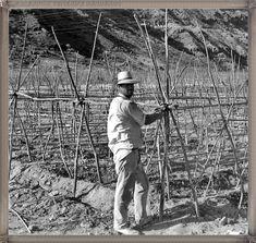 Gran Canaria - trabajos en tomateros año 1968 #fotoscanariasantigua #tenerifesenderos #fotosdelpasado #canariasantigua #canaryislands #islascanarias #blancoynegro #recuerdosdelpasado #fotosdelrecuerdo