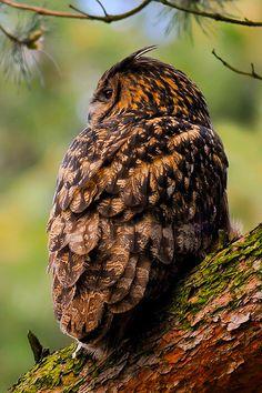 l0stship:  eurasian eagle owl , by rob janné