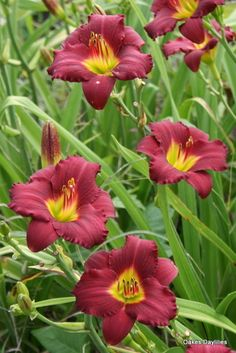 Pardon Me - One of the best reblooming reds. It starts its display of deep burgundy red blooms late in the season and continues until frost. Fragrant