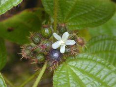 Blüte und Früchte von Clidemia hirta.  Forest & Kim Starr  Clidemia hirta (fruits flowers). Location: Maui, Wahinepee