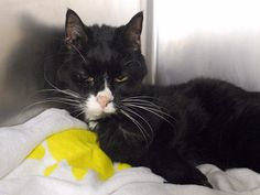PLAYER - A1064563 - - Manhattan Please Share: *** TO BE DESTROYED 02/10/16 *** PLAYER IS A SENIOR LADY, DOWN ON HER LUCK….Too bad her finder brought her here. PLAYER played with the finder's 8 year old child, greeted and meowed at visitors and even let the finder bathe her!! THIS CAT IS A GEM!! She has gotten a great AVERAGE rating at the ACC and purrs like a storm! PLAYER has some senior issues which need investigation. Since PLAYER was eating and drinking