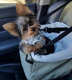 Awww! So adorable #yorkshireterrier
