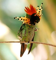 Tufted Coquette: Spectacular red-topped Tufted Coquette occurs across northern South America, and it's a highlight of every trip to the Asa Wright Nature Centre on the island of Trinidad, where IPMCanada snapped this photo.