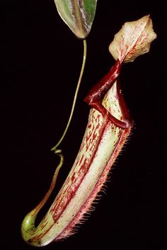 Nepenthes mixta
