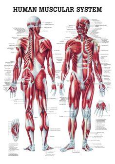 The Human Muscular System Laminated Anatomy Chart (Sistema Muscular Humano) in Spanish Human Muscle Anatomy, Human Skeleton Anatomy, Human Anatomy Drawing, Human Anatomy And Physiology, Anatomy Organs, Human Muscular System, Muscular System Anatomy, Human Body Systems, Nervous System Anatomy
