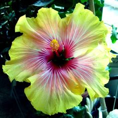 Hibiscus 'Moon Goddess', if only these plants would live outside in Ohio...
