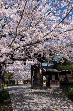 西陣で静かに咲く花の色 【立本寺】  Ryuhon-ji, Kyoto