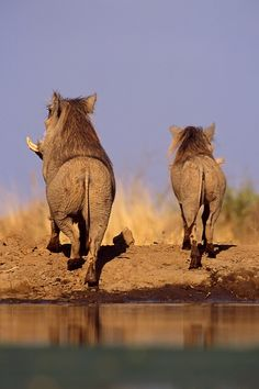 Too cute! Heading out into the bush - two warthogs (could they be humming Hakuna Matata ...) ^_~