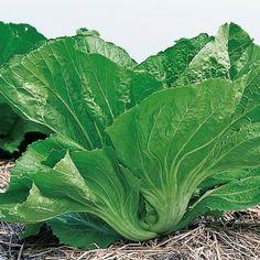 Benih Sayuran, Benih Sayuran Murah, Benih Sayuran Organik, Benih Sayuran Import, Benih Sayuran Unggul - HP 0856-4347-4222 -