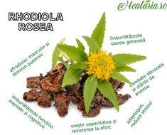 """Rhodiola Rosea, numită şi """"rădăcina de aur"""" sau """"rădăcina arctică"""", creşte în regiunile arctice ale Europei şi Asiei.💪🌿🌱❄ Este o plantă cu efect adaptogen, crescând capacitatea de adaptare a organismului la stres de diferite tipuri. __________________________ • • • • • #healaria #healthygoals #healthylifestyle #healthiswealth #superfood  #rhodiola #rhodiolarosea #adaptogens #superalimente #manancasanatos  #traiestesanatos #eatbetter #alkalinefoods #alkalinediet # Eat Better, Aur, Green Beans, Beef, Vegetables, Instagram, Food, Meat, Essen"""