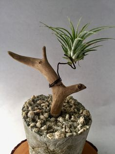 Interesting use of concrete to create sturdy and sculptural base for air plant display.