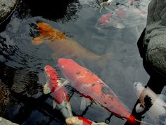 Koi Travel Pictures, Koi, Fish, Pets, Animals, Travel Photos, Animales, Animaux, Pisces