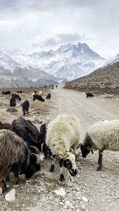Sheep In Himalayas, Nepal