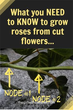 Success rates may be low, but it IS possible to grow roses from cut flowers! And here's everything you need to know to have success! Apartment Plants, Best Indoor Plants, Rose Bush, Cut Flowers, Houseplants, Need To Know, Diy Design, Roses, Success