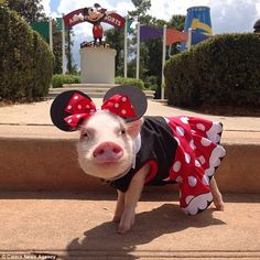 Melissa dresses Priscilla (pictured) and her brother up in specially made little outfits - much to the delight of the pigs' growing online fanbase